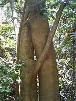 寄り添う木の写真