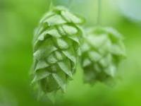 ビールの原料に使われるホップ