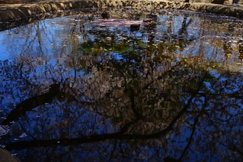 近所の公園の桜~水面