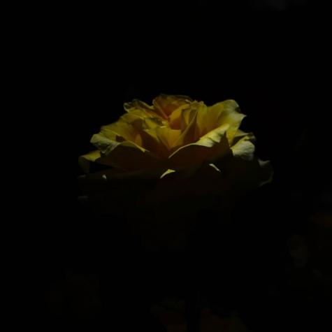 ライトアップされた薔薇