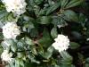 雨の白沈丁花