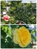 GW休日の中ノ島のばら園