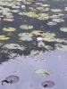 モネの池。。の睡蓮
