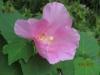 最後まで一生懸命に咲きます花芙蓉